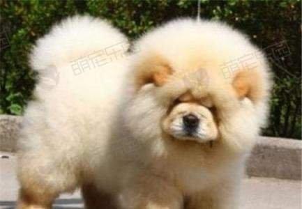 松狮犬狗狗品种介绍【图】